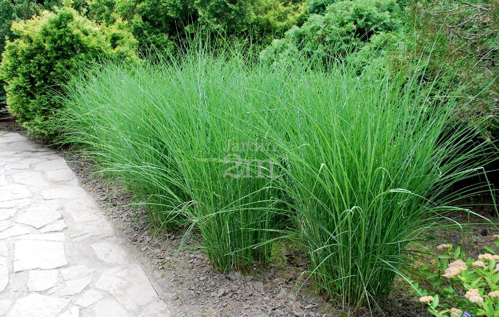 miscanthus sinensis graziella roseau de chine maiden grass nos v g taux jardin2m. Black Bedroom Furniture Sets. Home Design Ideas