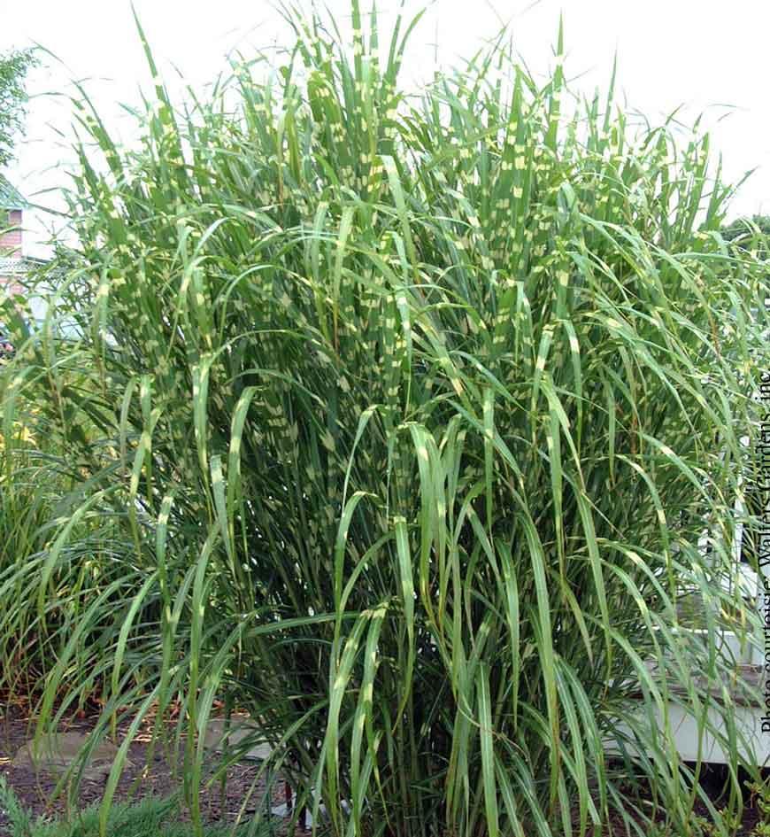miscanthus sinensis strictus roseau de chine maiden grass nos v g taux jardin2m. Black Bedroom Furniture Sets. Home Design Ideas