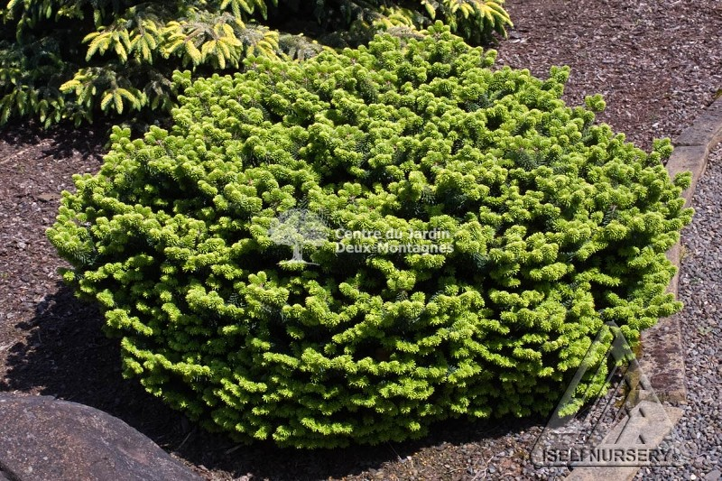 abies balsamea nana sapin baumier nain dwarf balsam fir nos v g taux jardin2m. Black Bedroom Furniture Sets. Home Design Ideas