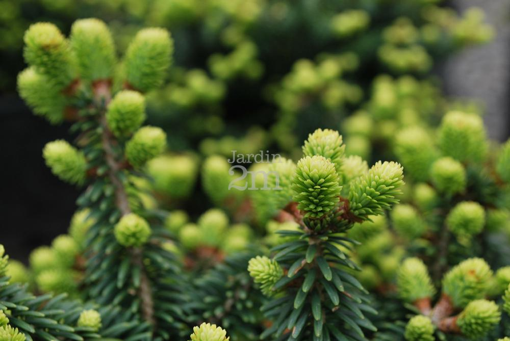 abies balsamea piccolo sapin baumier nain dwarf balsam fir nos v g taux jardin2m. Black Bedroom Furniture Sets. Home Design Ideas