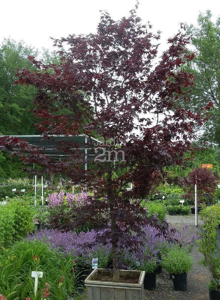 Acer palmatum bloodgood rable du japon japanese maple nos v g taux jardin2m - Erable du japon bloodgood ...