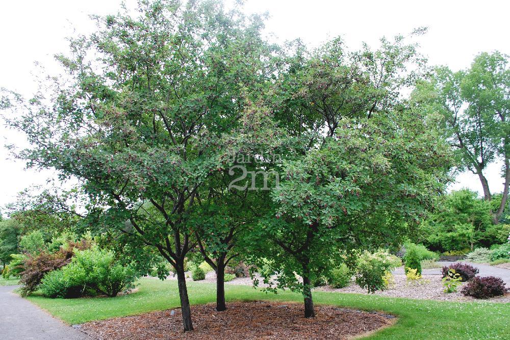 amelanchier canadensis tige amelanchier du canada shadblow serviceberry nos v g taux. Black Bedroom Furniture Sets. Home Design Ideas