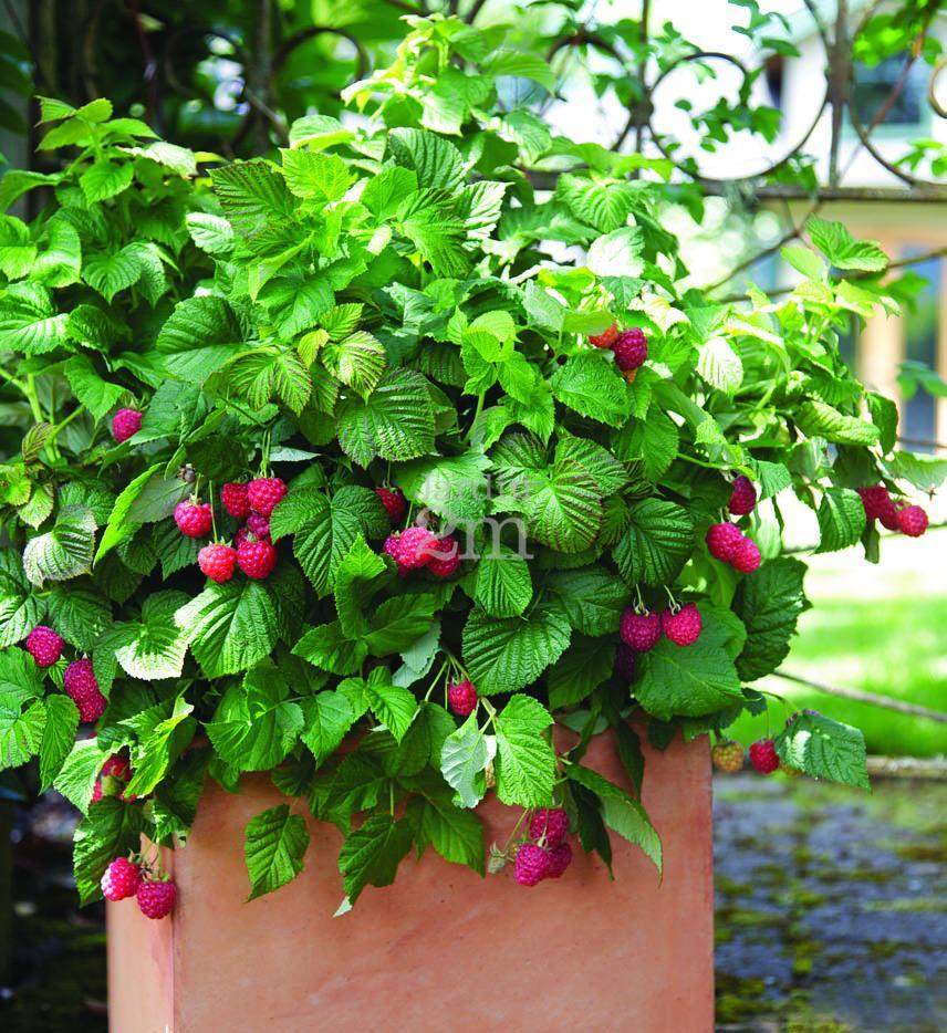 framboisier bushel and berry shortcake framboisier raspberries nos v g taux jardin2m. Black Bedroom Furniture Sets. Home Design Ideas