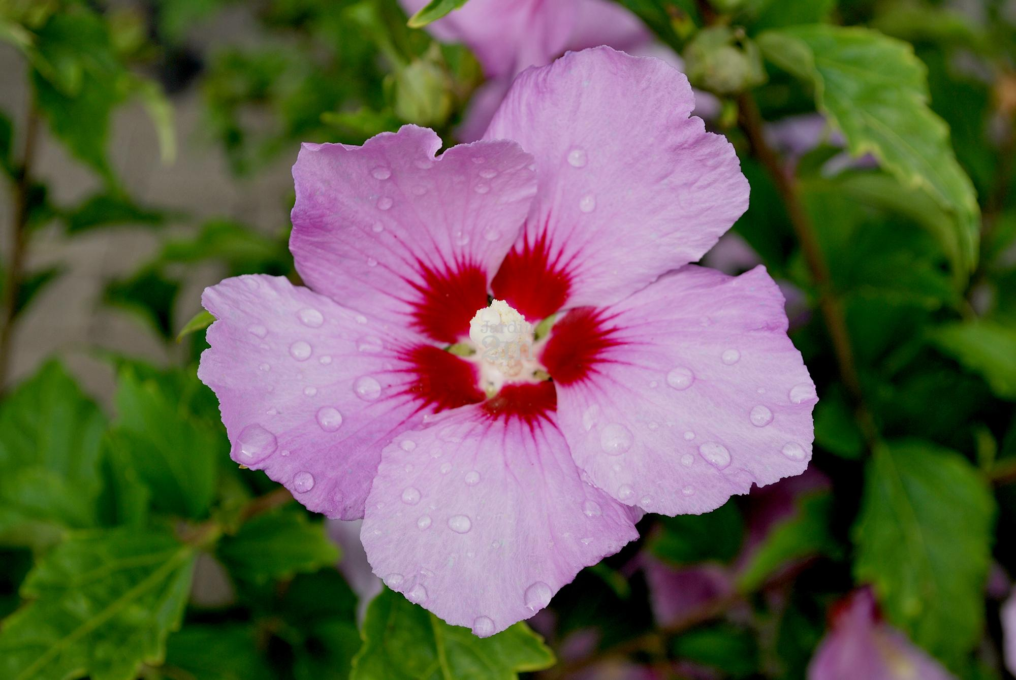 hibiscus syriacus minerva ketmie de syrie rose of sharon nos v g taux jardin2m. Black Bedroom Furniture Sets. Home Design Ideas