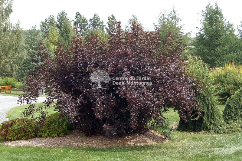 Physocarpus opulifolius diabolo physocarpe a feuilles d 39 obier common ninebark nos - Arbuste feuillage pourpre ...