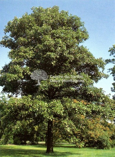 Qubico Quercus Bicolor...