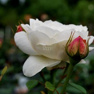Rosa anglais graham thomas david austin rosier for Jardin anglais vegetaux