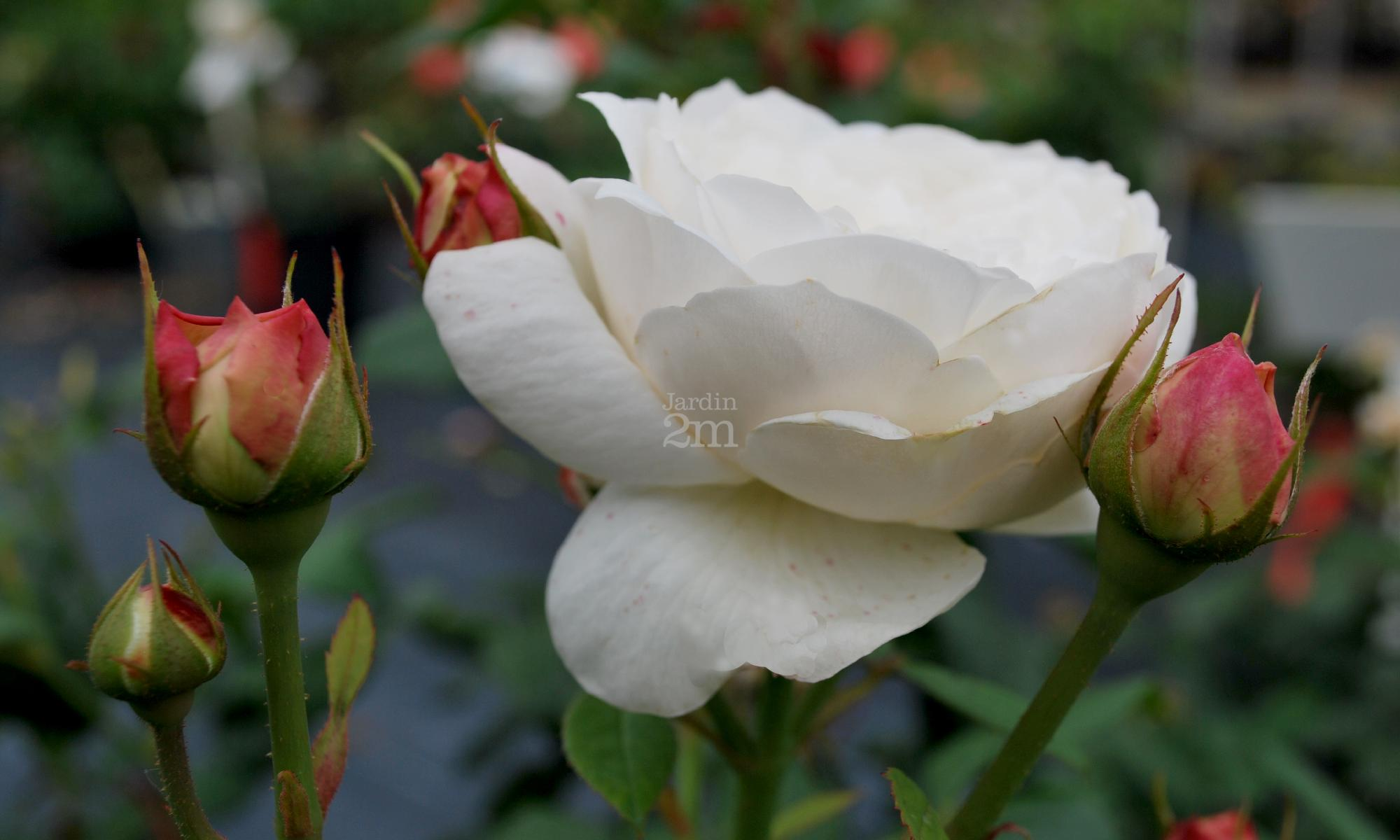 Rosa anglais fair bianca david austin rosier for Jardin anglais vegetaux