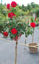 Rosier / Rose - Photo