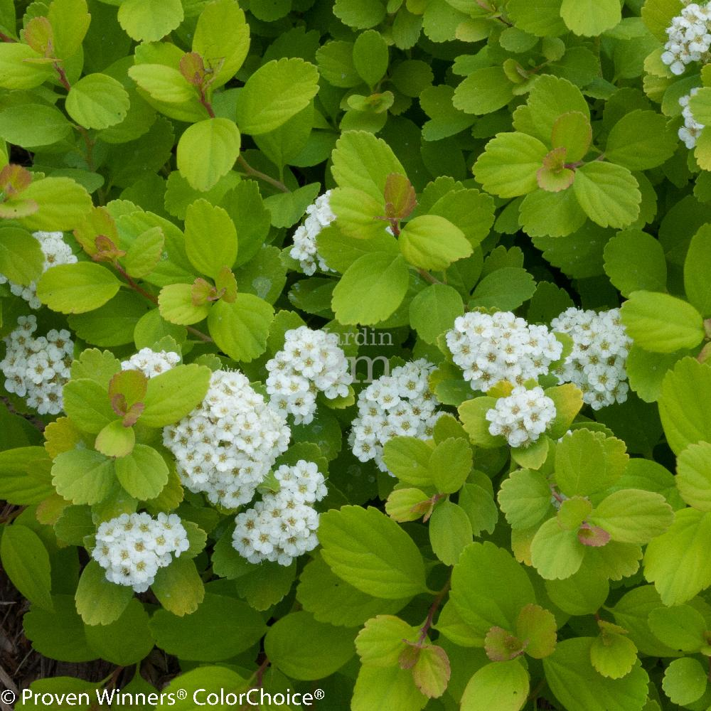 Spiraea betulifolia glow girl spir e a feuilles de bouleau birchleaf spirea nos v g taux - Feuille de bouleau photo ...