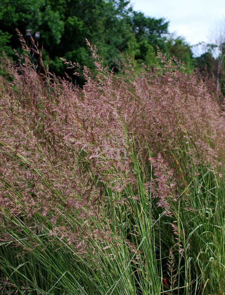 Picture of Live Var. Feather Reed Grass aka Calamagrostis acut. 'Overdam' Plant Fit 5 Gallon Pot