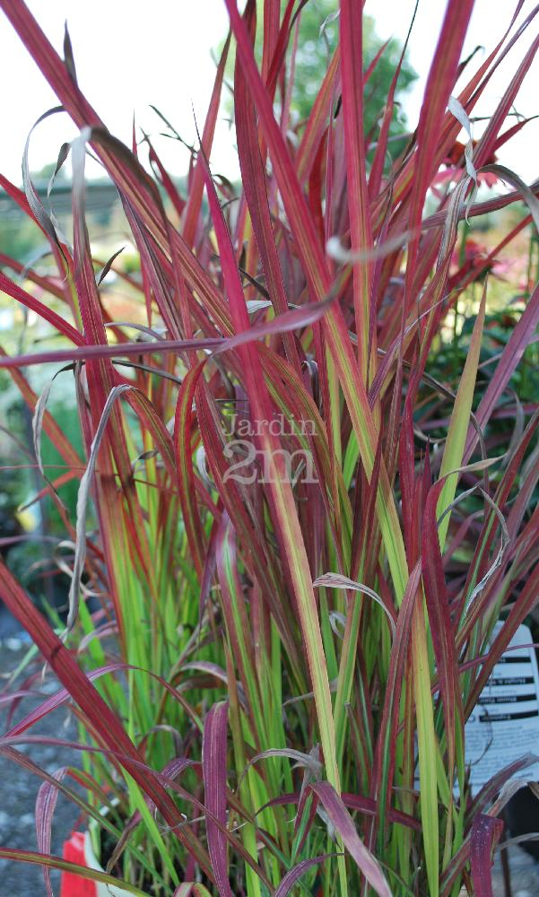 Imperata cylindrica red baron herbe rouge japonaise for Plante japonaise