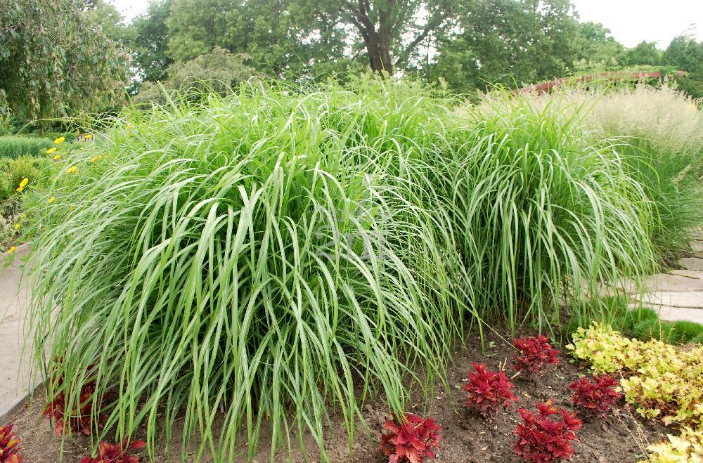 miscanthus sinensis malepartus roseau de chine maiden grass nos v g taux jardin2m. Black Bedroom Furniture Sets. Home Design Ideas