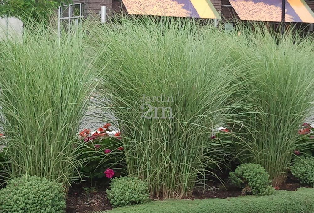 miscanthus sinensis morning light roseau de chine maiden grass nos v g taux jardin2m. Black Bedroom Furniture Sets. Home Design Ideas