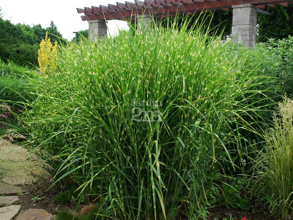 miscanthus sinensis zebrinus roseau de chine maiden grass nos v g taux jardin2m. Black Bedroom Furniture Sets. Home Design Ideas