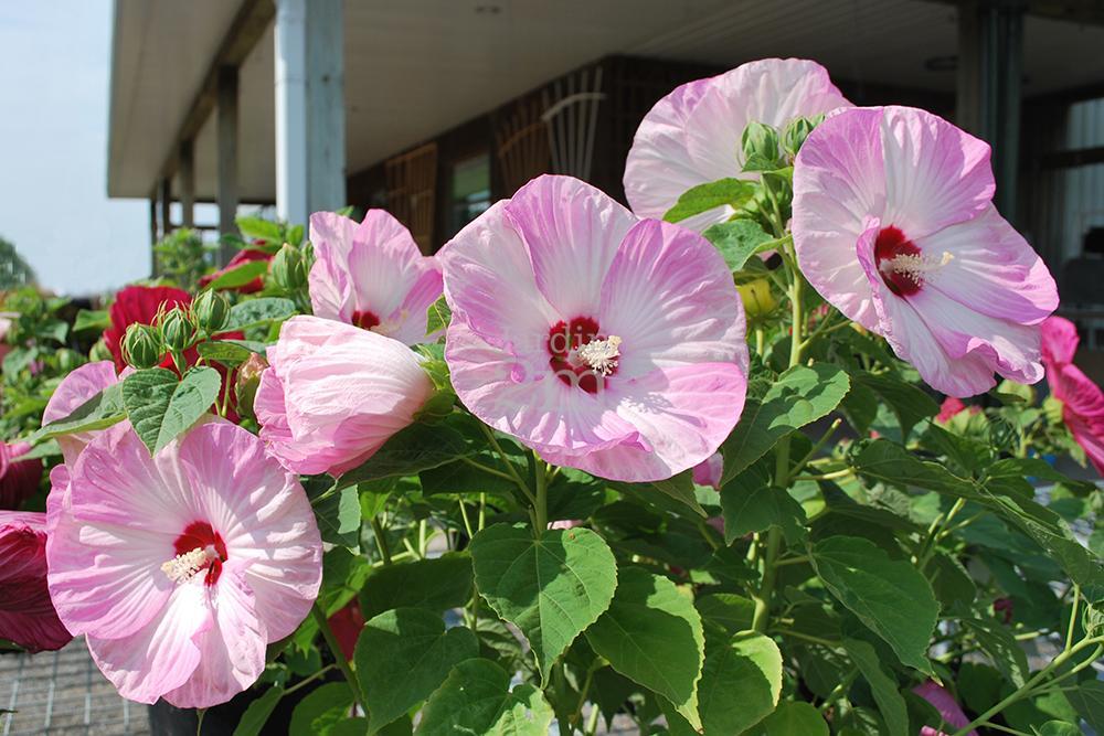 Hibiscus Moscheutos Luna Pink Swirl Ketmie Des Marais Rose