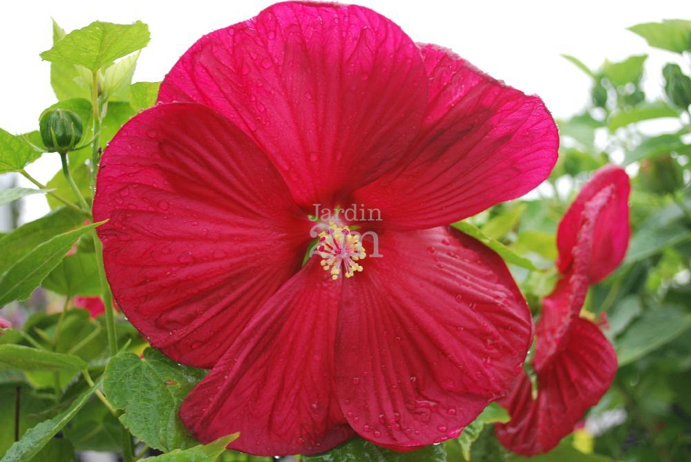 Hibiscus Moscheutos Luna Red Ketmie Des Marais Rose Mallow