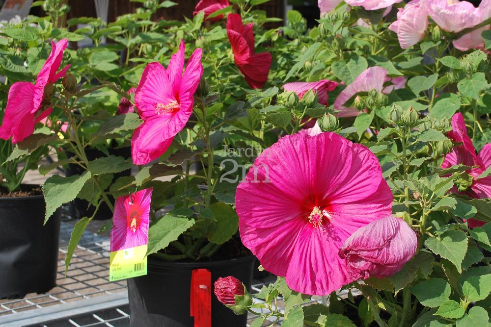 Hibiscus Moscheutos Luna Rose Ketmie Des Marais Rose Mallow