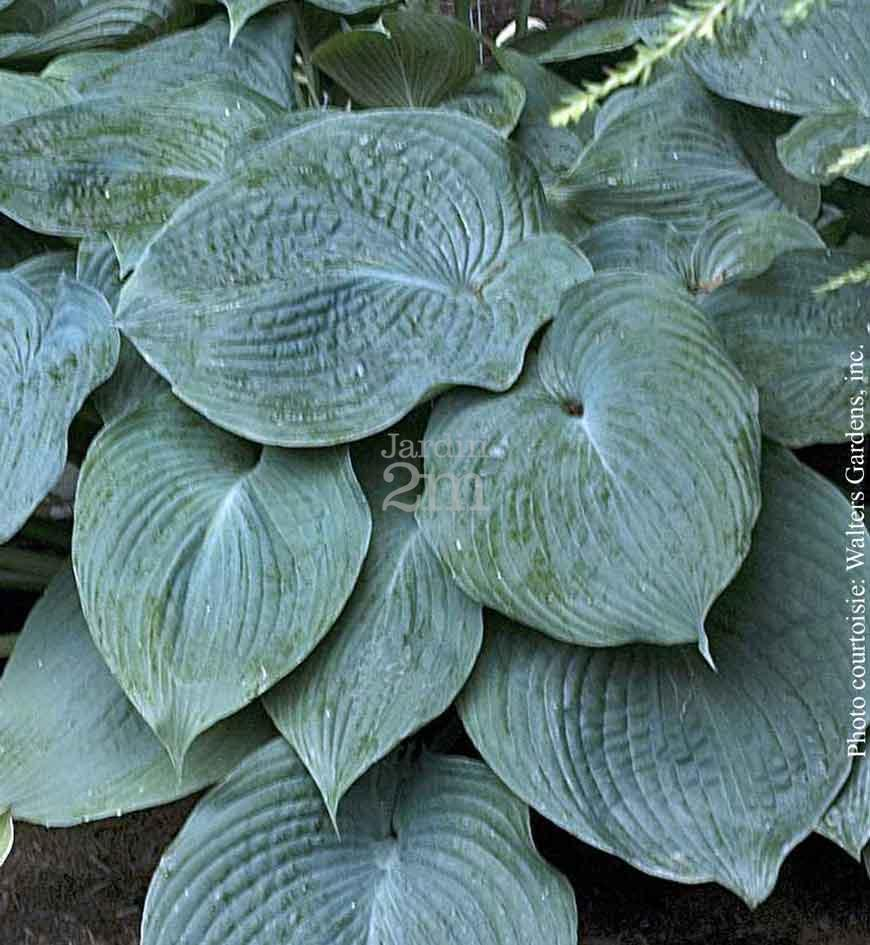 Hosta X Blue Angel Hosta Plantain Lily Nos Végétaux Jardin2m