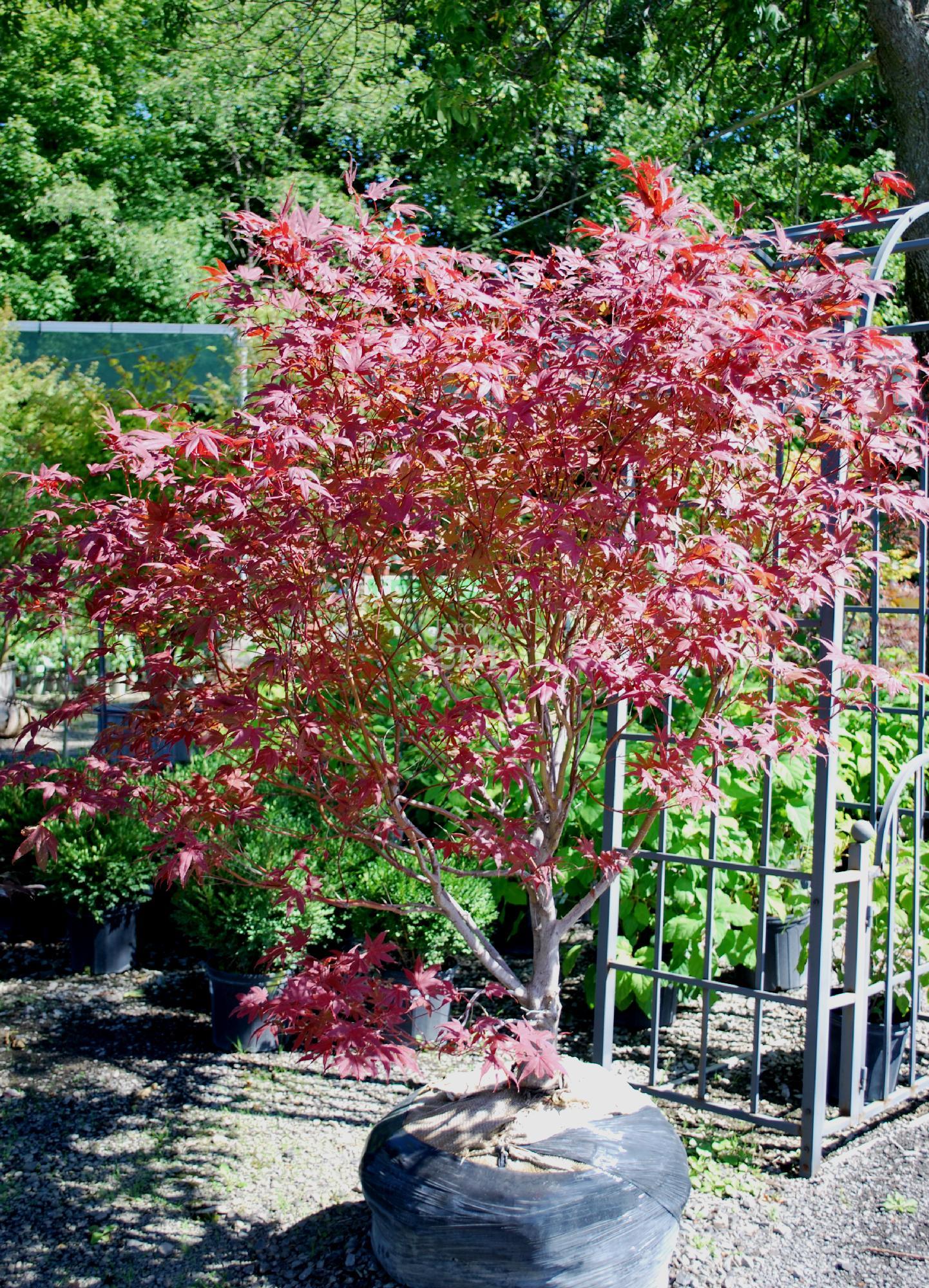 """foto de Acer palmatum """"Bloodgood"""" Érable Du Japon / Japanese"""