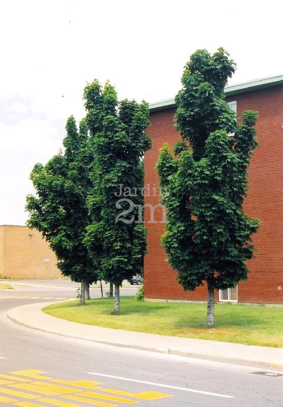 Acer Platanoides Columnare érable De Norvege Colonnaire