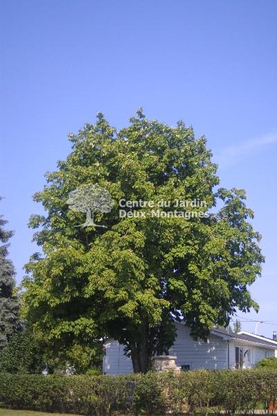 aesculus hippocastanum marronnier d 39 inde common horsechestnut nos v g taux jardin2m. Black Bedroom Furniture Sets. Home Design Ideas