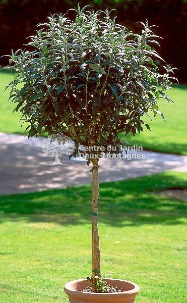 Buddleia Davidii Quot Black Knight Quot Arbre Aux Papillons