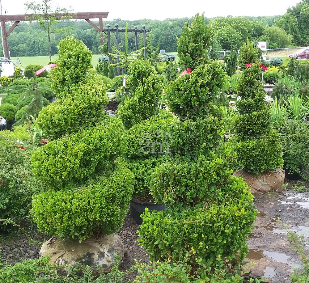 buxus x green mountain spirale buis boxwood nos v g taux jardin2m. Black Bedroom Furniture Sets. Home Design Ideas