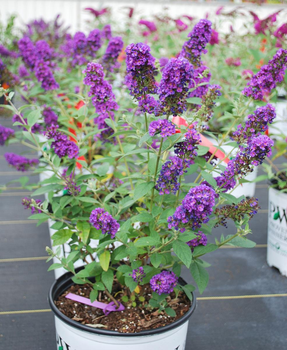 """buddleia x """"miss violet"""" - arbre aux papillons / butterfly bush"""