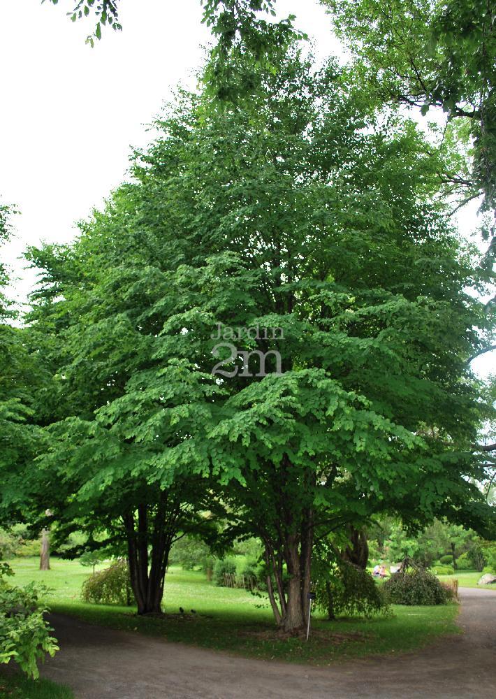 cercidiphyllum japonicum arbre de katsura katsura tree nos v g taux jardin2m. Black Bedroom Furniture Sets. Home Design Ideas