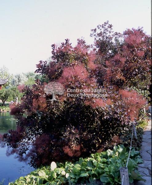 Cotinus coggygria \'Royal Purple\' - arbre