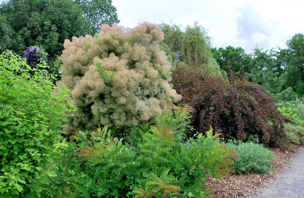 Cotinus Coggygria Quot Young Lady Quot Arbre 192 Perruque Smoke