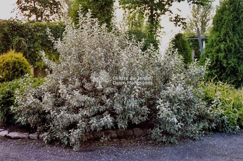 elaeagnus commutata chalef argente silverberry nos v g taux jardin2m. Black Bedroom Furniture Sets. Home Design Ideas