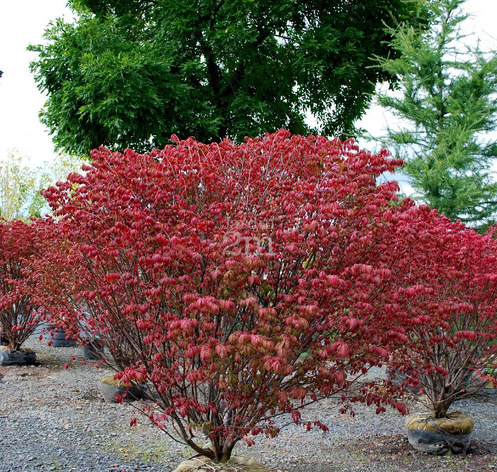 Euonymus alatus fusain aile burning bush nos for Euonymus alatus