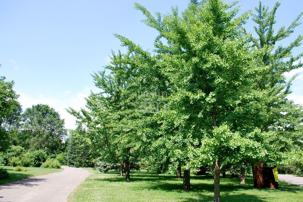 ginkgo biloba arbre aux quarante ecus maidenhair tree nos v g taux jardin2m. Black Bedroom Furniture Sets. Home Design Ideas