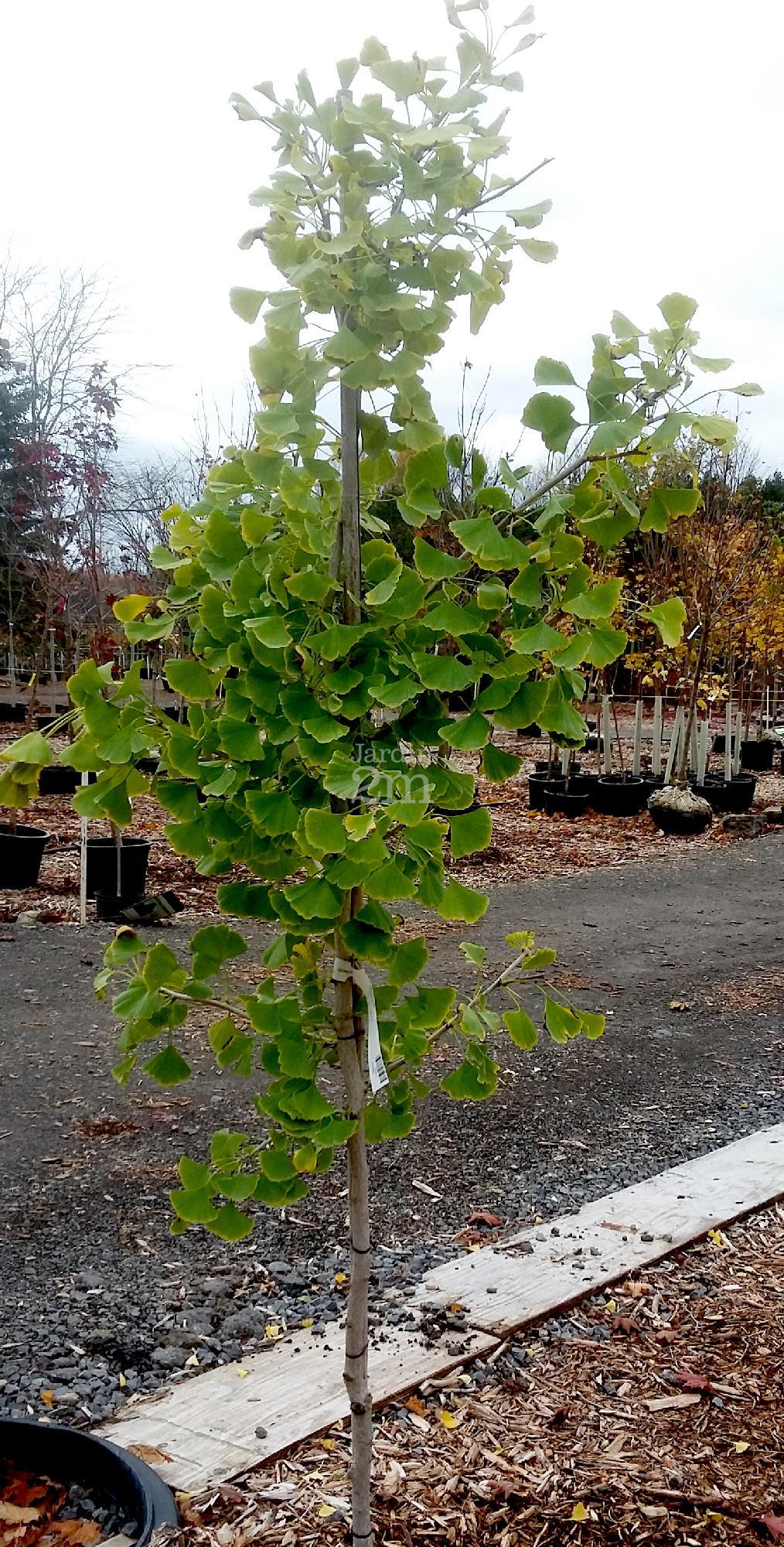 ginkgo biloba magyar arbre aux quarante ecus maidenhair tree nos v g taux jardin2m. Black Bedroom Furniture Sets. Home Design Ideas