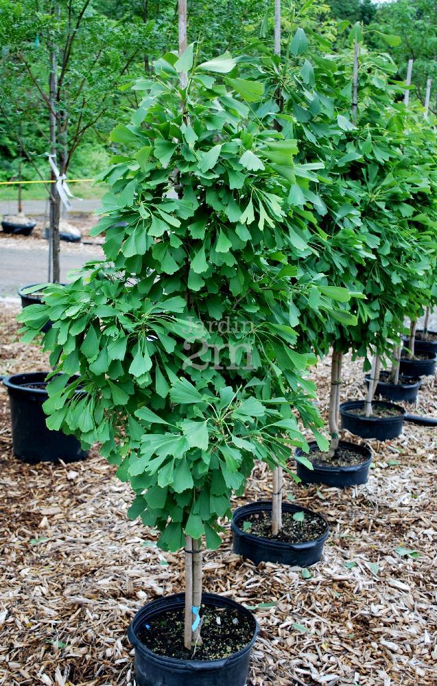 ginkgo biloba saratoga arbre aux quarante ecus maidenhair tree nos v g taux jardin2m. Black Bedroom Furniture Sets. Home Design Ideas