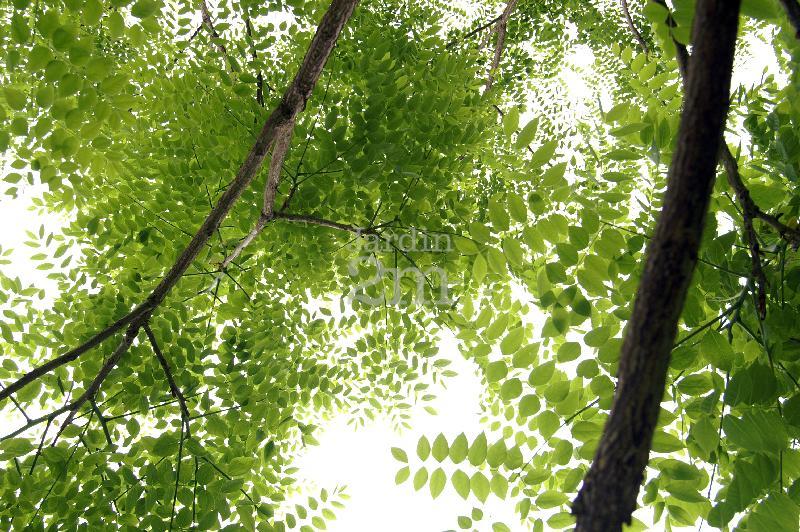 gymnocladus dioicus chicot du canada kentucky coffeetree nos v g taux jardin2m. Black Bedroom Furniture Sets. Home Design Ideas