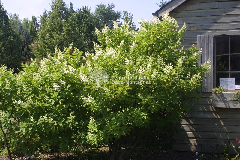 hydrangea paniculata kyushu hydrangee paniculee. Black Bedroom Furniture Sets. Home Design Ideas