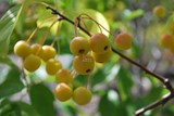 Pommetier decoratif / Crabapple - Photo