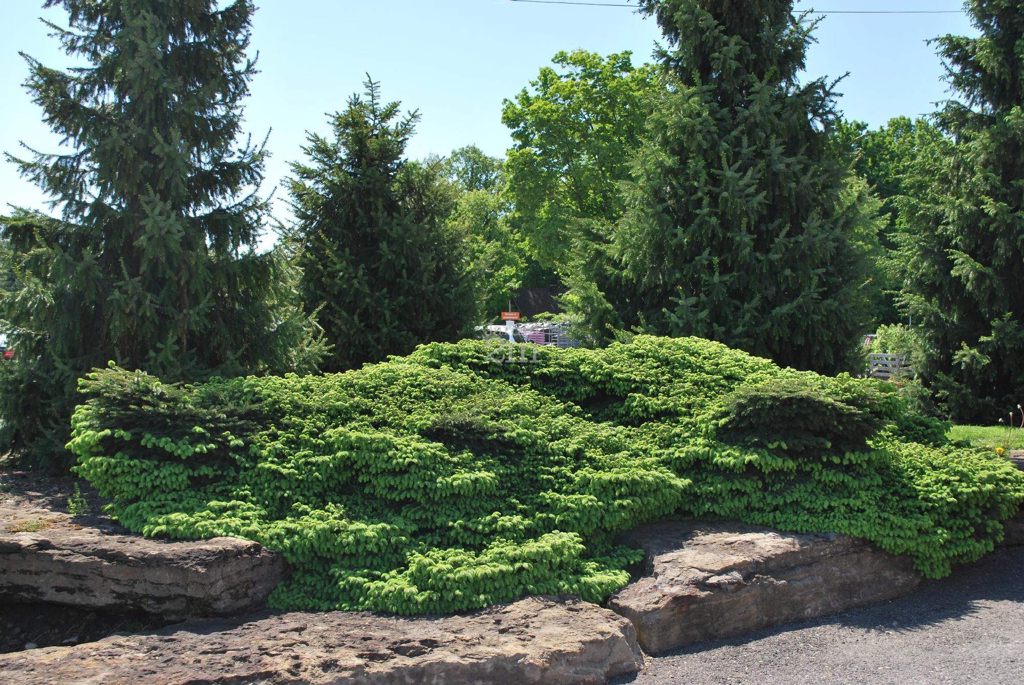 Picea abies nidiformis pinette norvege nid oiseau for Jardin anglais vegetaux