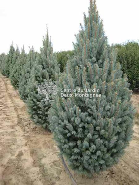 Picea Pungens Iseli Fastigiata épinette Du Colorado Colorado