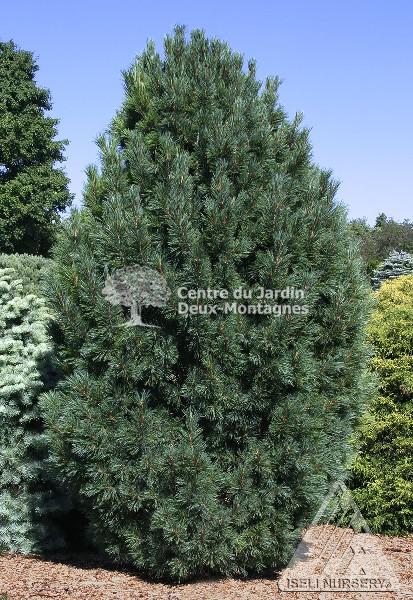 Pinus cembra pin nain des montagnes swiss stone pine for Jardin 2 montagnes