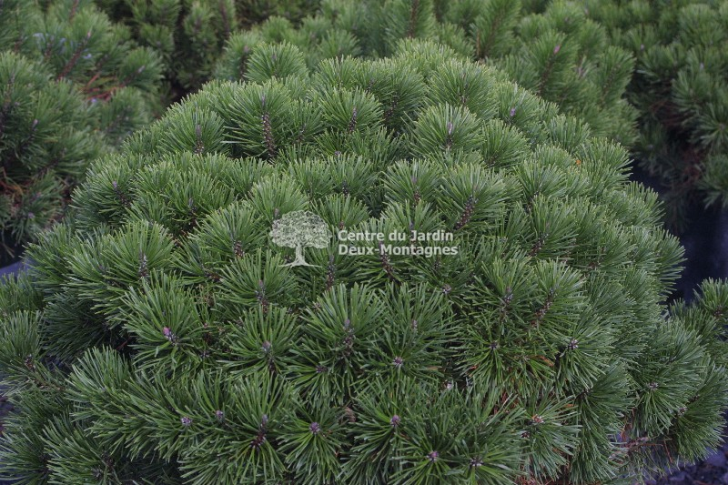 Pinus mugo pumilio pin de montagne swiss mountain for Jardin 2 montagnes