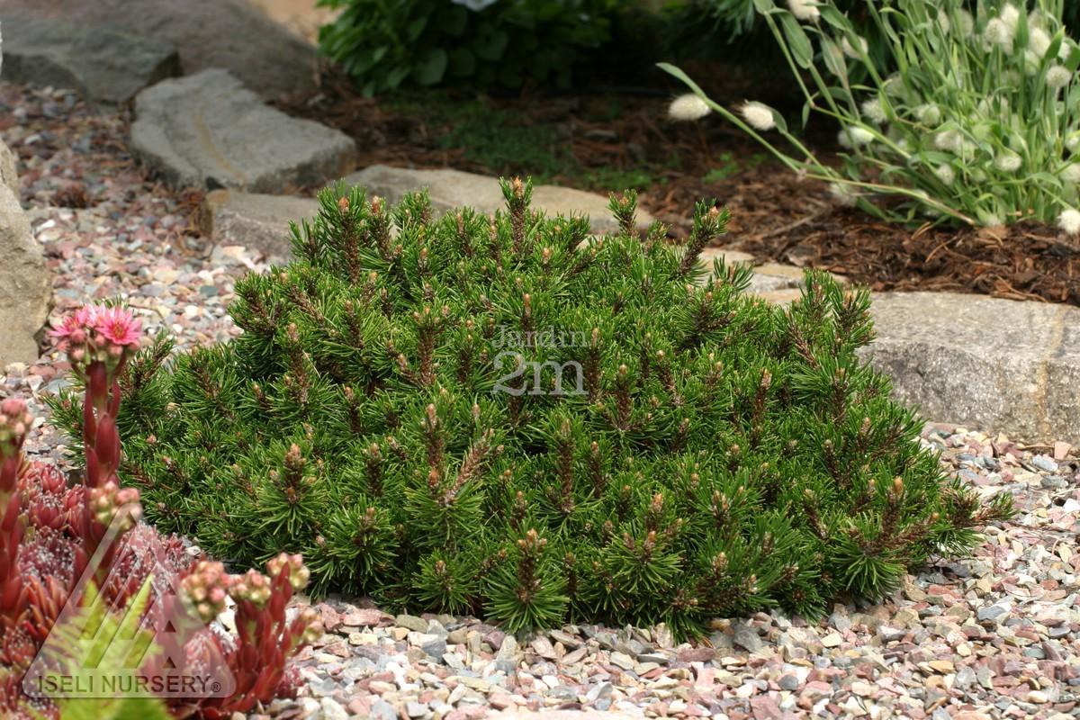 Pinus mugo short needle pin de montagne swiss for Jardin 2 montagnes