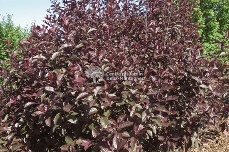 prunus x cistena cerisier pourpre des sables purple leaf sand cherry nos v g taux jardin2m. Black Bedroom Furniture Sets. Home Design Ideas