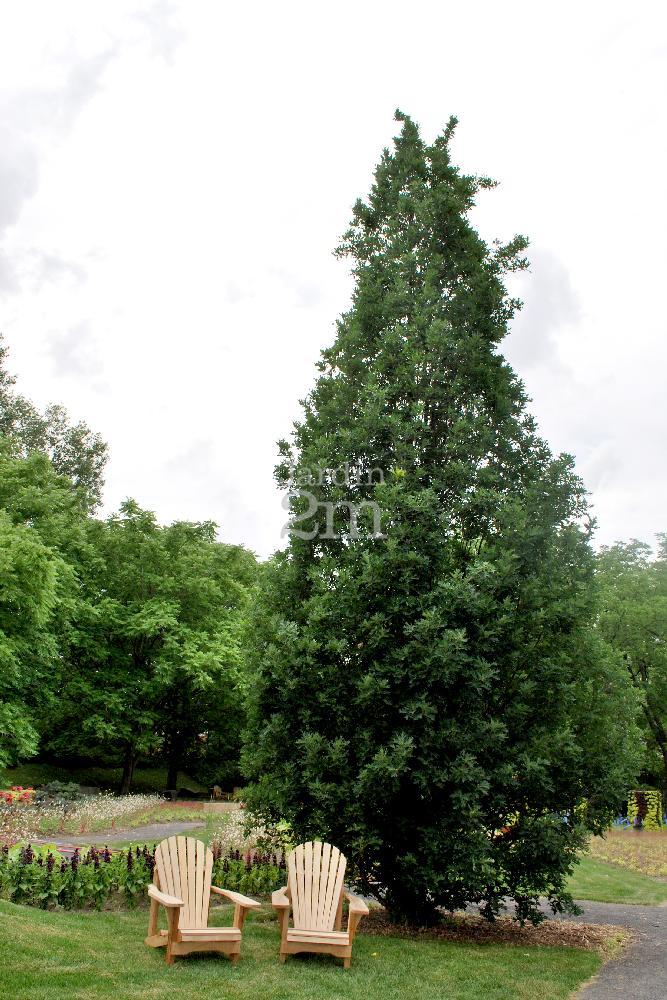 quercus robur crimson spire ch ne p doncul spire english oak nos v g taux jardin2m. Black Bedroom Furniture Sets. Home Design Ideas
