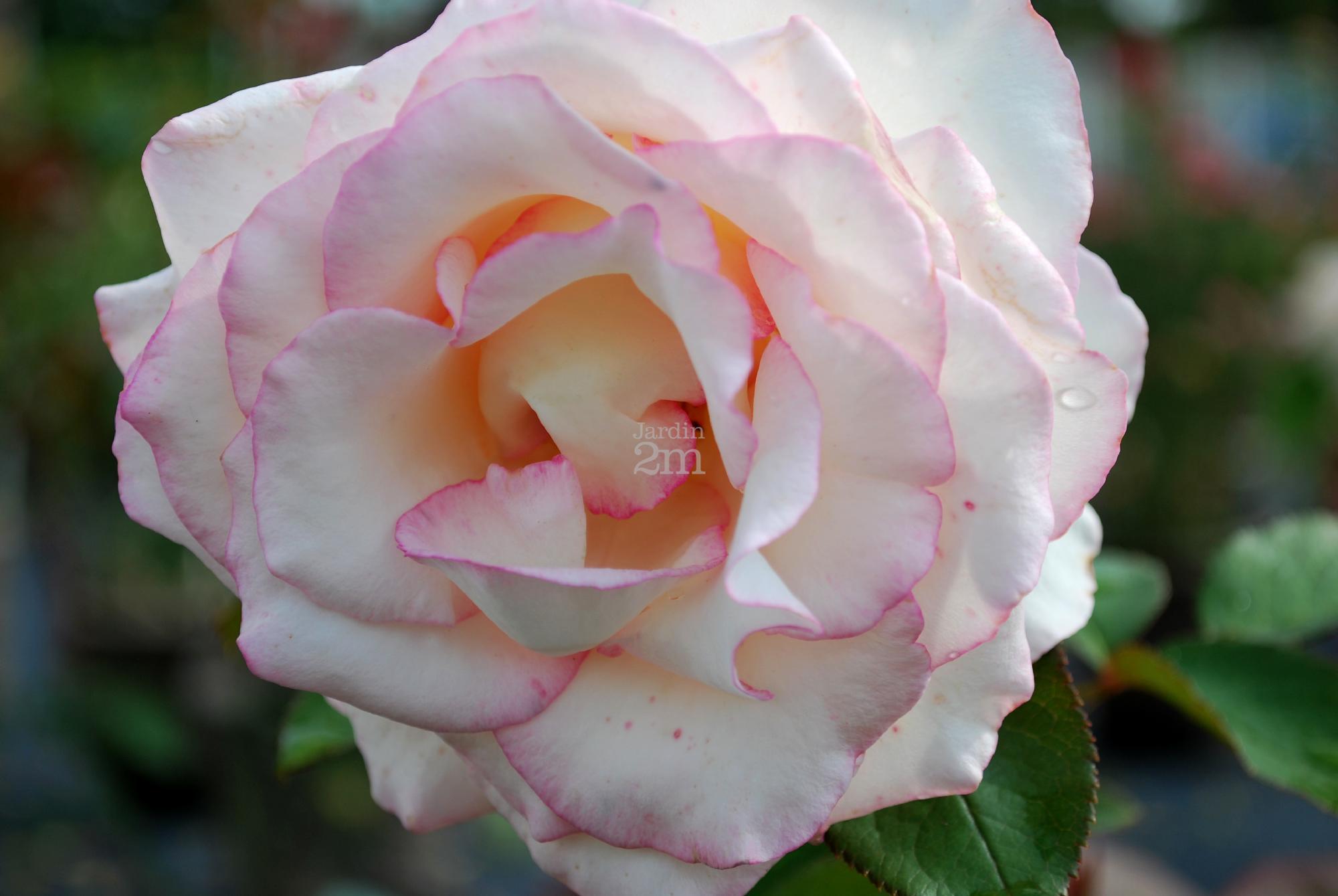"""Couper Les Rosiers En Octobre rosa hyb. de the """"moonstone"""" - rosier / roses - nos végétaux"""