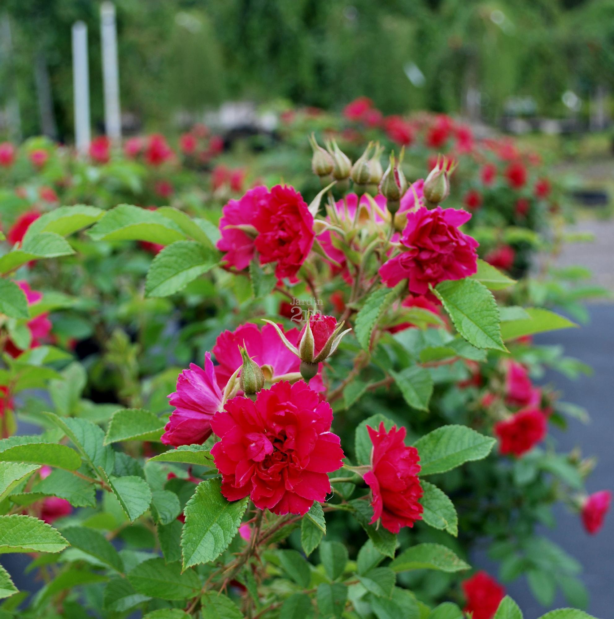 Rosa rugosa fj grootendorst rosier rustique rose nos v g taux jardin2m - Comment multiplier un rosier ...