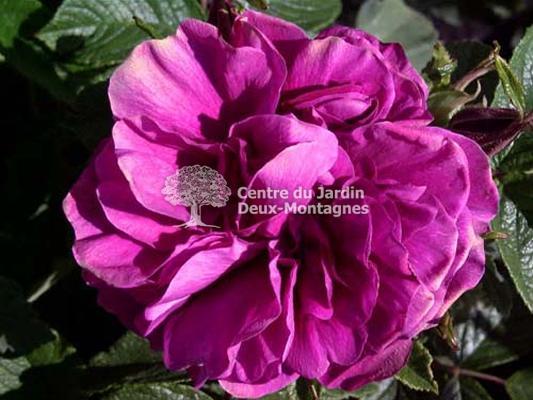 rosa rugosa hansa rosier rustique rose nos v g taux jardin2m. Black Bedroom Furniture Sets. Home Design Ideas